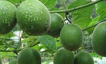 8 Health Benefits of Monk Fruit